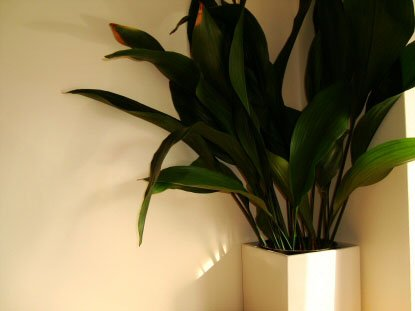 Large Aspidistra in a white pot