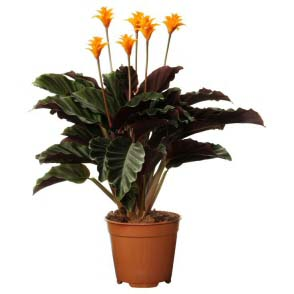 Calathea crocata is the only indoor Calathea that flowers