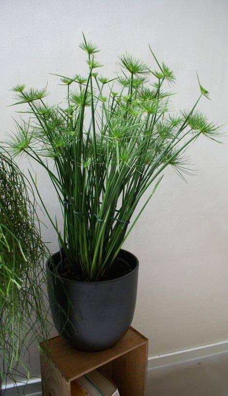 Mature Cyperus haspan being grown as an attractive houseplant by Robin Berthier