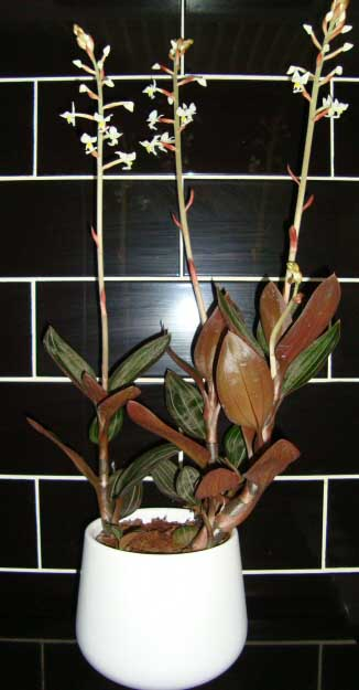 Jewel Orchid Flowers