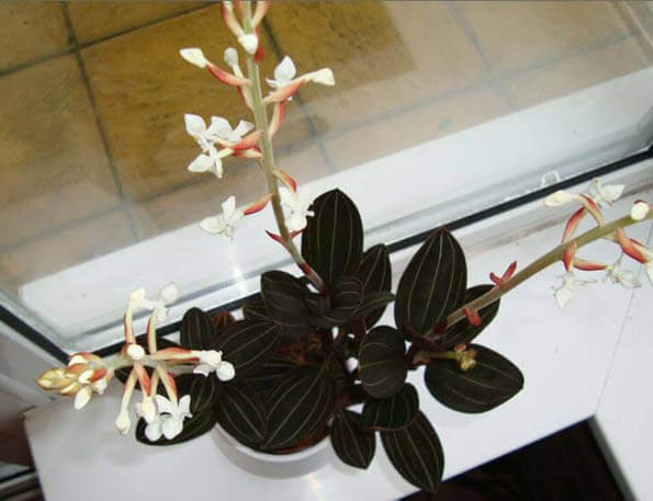 Jewel Orchids do well as house plants