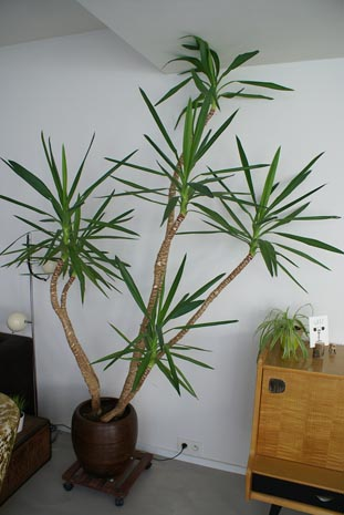 A very tall and mature Yucca houseplant