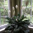 Judy's Peace Lily has flowered mutiple times