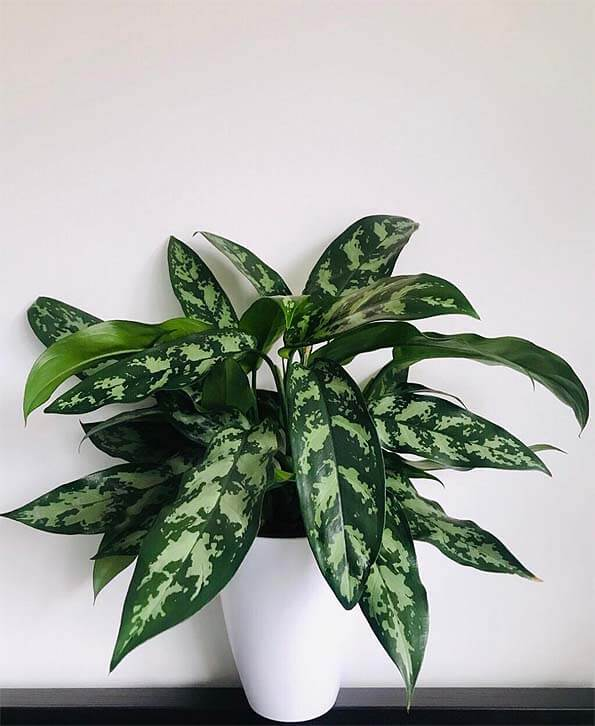 Aglaonema Maria on a table with a white background