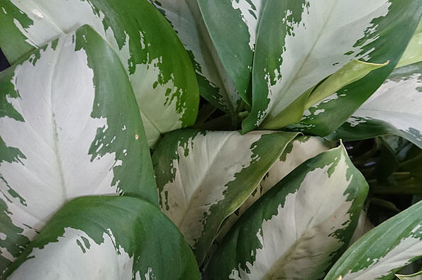 Photo showing the leaves of the Aglaonema Chinese Evergreen Diamond Bay