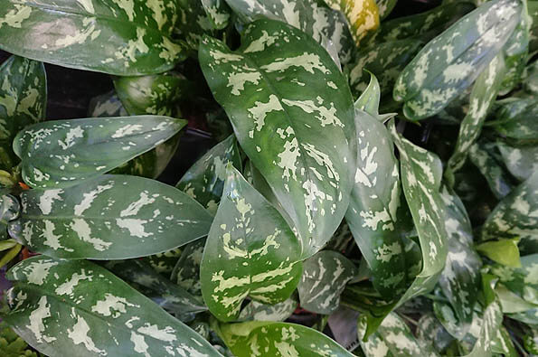 Photo showing the leaves of the Aglaonema Chinese Evergreen Maria