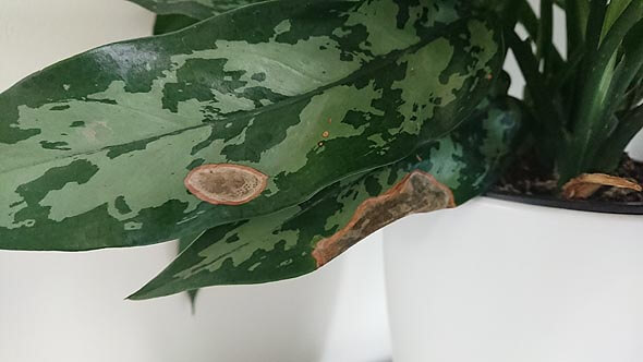 This Chinese Evergreen has brown spots caused by sun damage