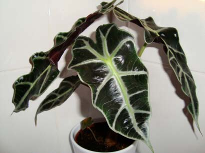 About The Alocasia