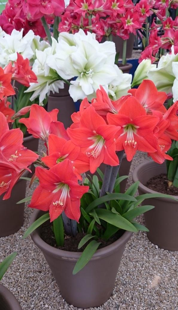 Amaryllis in full bloom at the RHS Chelsea Flower Show London 2015