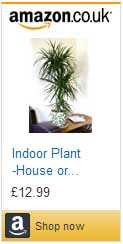 Dragon Tree plant for sale on Amazon.co.uk