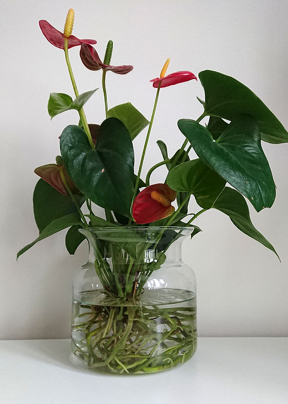 An Anthurium houseplant growing in a water vase