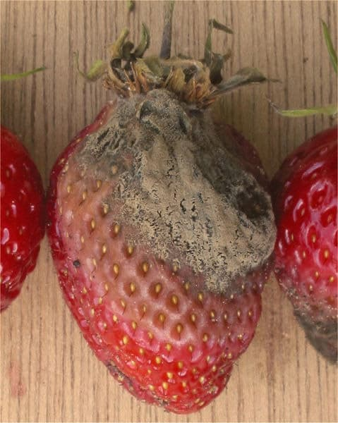 Botrytis thriving on a strawberry
