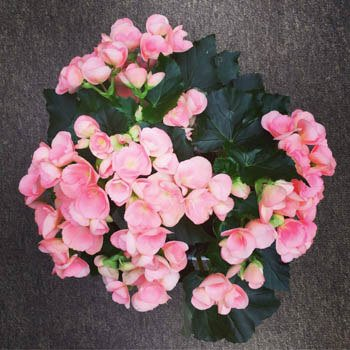 Begonia Guide Our House Plants