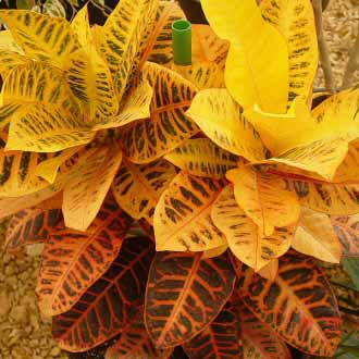 This Codiaeum Croton has stunning yellow and orange leaves