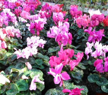 wide display of cyclamens in bloom
