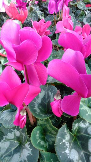 lots of deep pink flowers on this indoor cyclamen