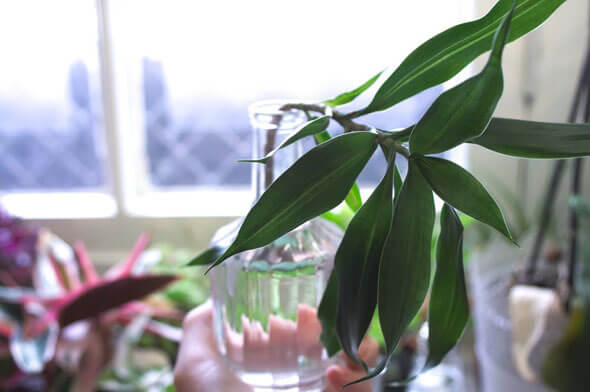 A Dracaena cutting rooting in a vase of water