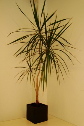 Dracaena Marginata or the Madagascar Dragon Tree