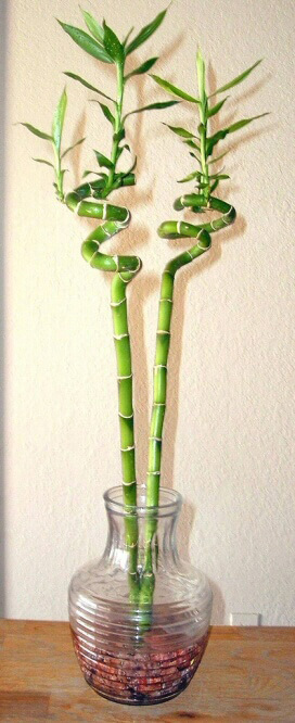 lucky bamboo dracaena sanderiana our house plants. Black Bedroom Furniture Sets. Home Design Ideas