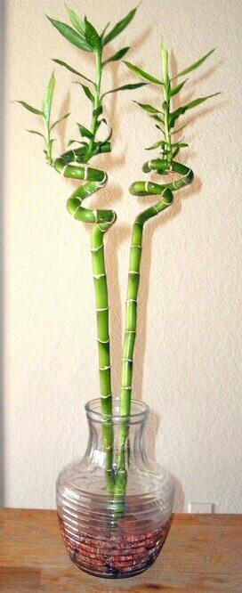 lucky bamboo dracaena sanderiana our house plants. Black Bedroom Furniture Sets. Home Design Ideas