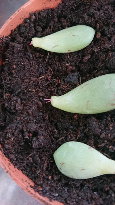 Several Echeveria leaf cuttings being used for propagation