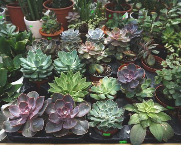 Large varieties of different Echeverias that you can buy from a store