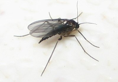 Close up photo of a Fungus Gnat / Sciarid Fly