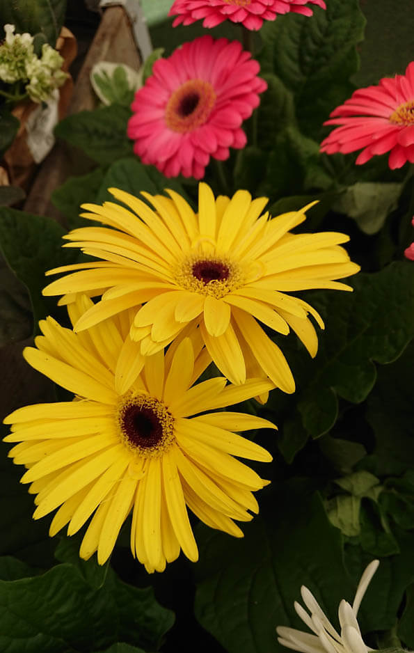 Gerberas are perennial flowering plants that can be grown as houseplants
