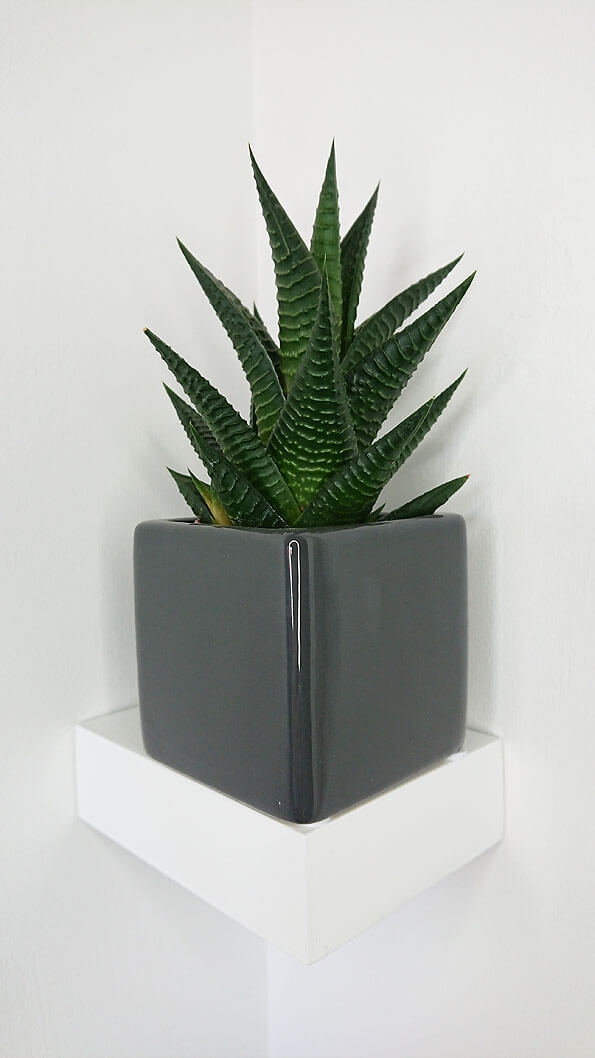 Haworthia Zebra Cactus Pearl Plant Star Window Plant Guide Our House Plants
