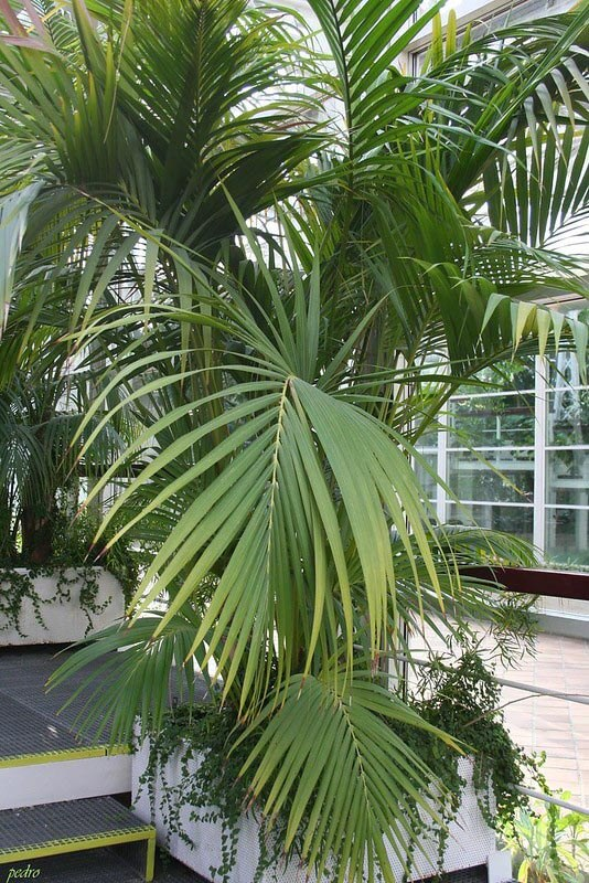Large and mature Howea palm growing in a shopping mall