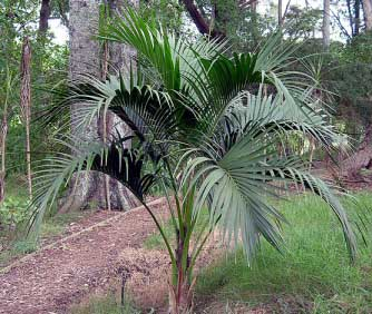 A Sentry Palm growing outdoors