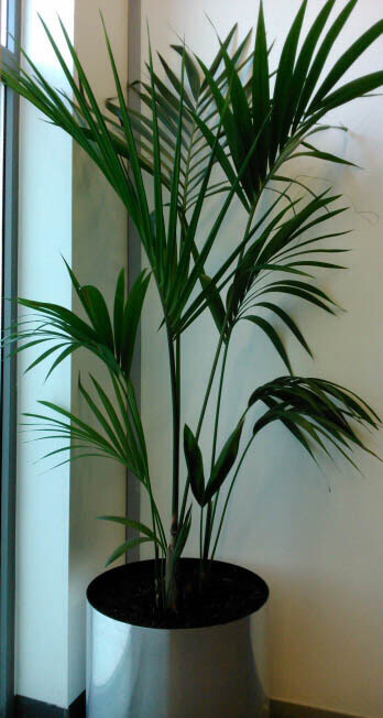 Large Kentia Palm growing in silver container in an office