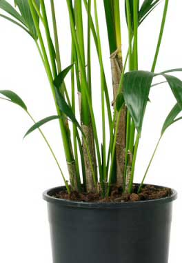 Howea's are not multi stemmed so if your plant looks like the photo you have a Howea