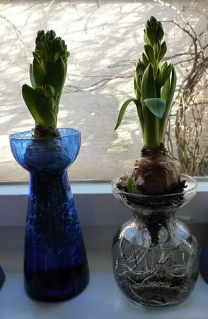 It's common to use forced bulbs in normal soil, but you can also grow them using just water in a glass