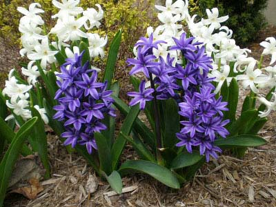 After flowering has finished you can plant the bulbs outside in the garden for a display in future years