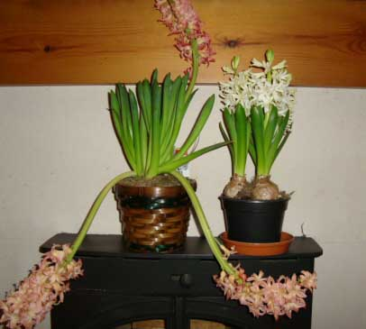 Hyacinths prefer cool temperatures and do not like it to be too hot