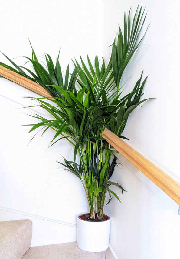 A large Kentia Palm growing at the bottom of a staircase