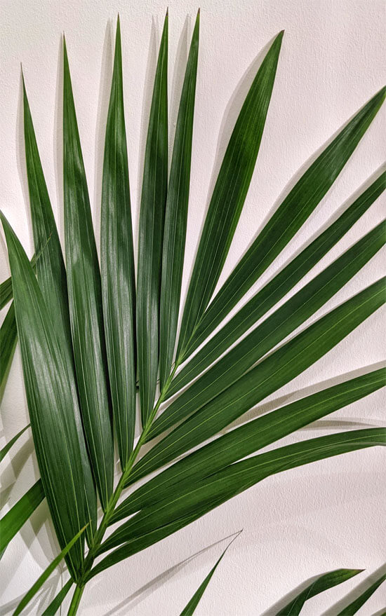 Close up image showing a leaf of a Howea forsteriana / Kentia Palm