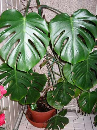 Monstera deliciosa or the Swiss Cheese Plant makes a wonderful houseplant if you have space