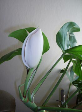 Monstera deliciosa has very large flowers, although it's uncommon for it to bloom indoors