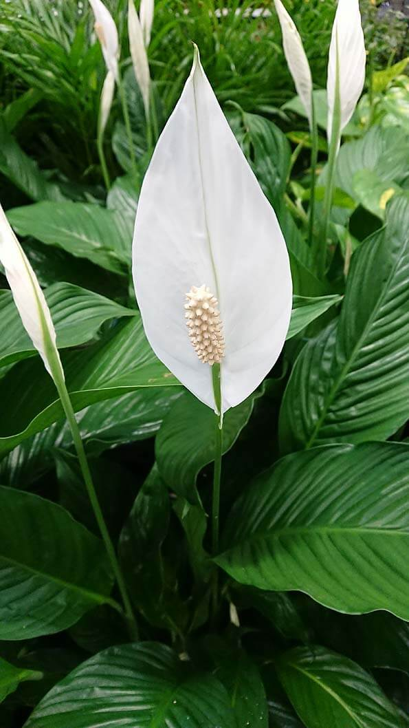Peace Lily Plant (Spathiphyllum) Guide | Our House Plants on ash trees identification by leaf, vegetable identification by leaf, house plant with heart shaped leaves, vine identification by leaf, identify a plant leaf, house plant identification,