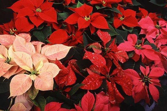 Several Flowering Poinsettias