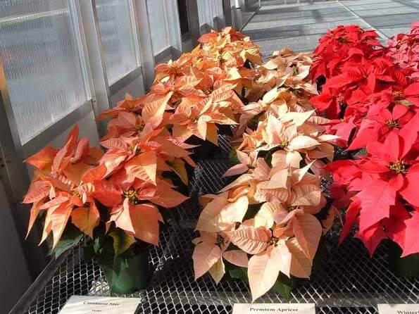Poinsettias now come in many different colours