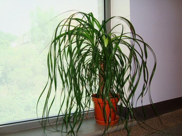 Beaucarnea recurvata ponytail palm our house plants Tall narrow indoor plants