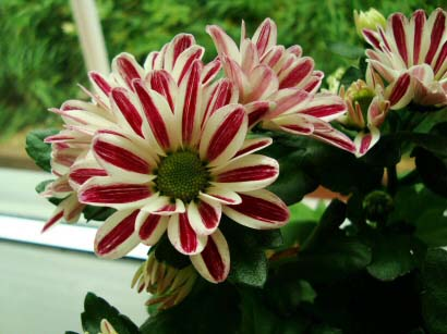 candy stripe flowers of a pot mum