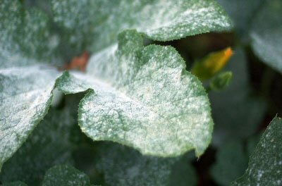 Photo showing Powdery mildew leaves