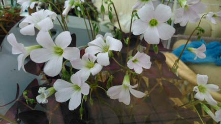 Purple shamrocks have white pinkish flowers