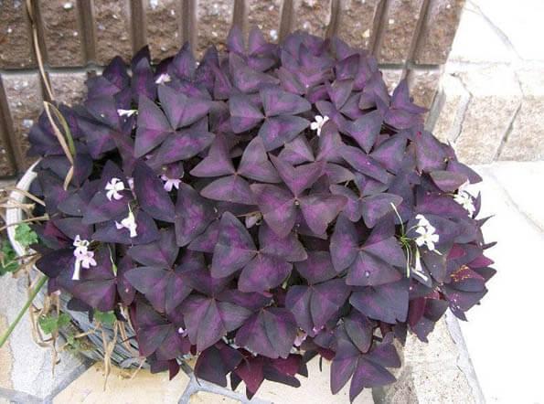 purple shamrock house plant