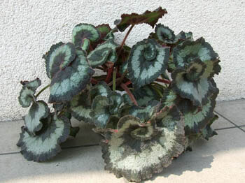 Escargot is a Rhizomatous Begonia