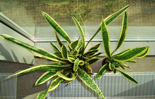 Two Sansevieria /  mother-in-law's tongue plants viewed side by side from the top